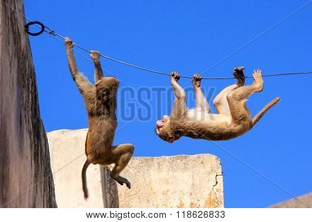 Rhesus Macaques Playing On A Wire Near Galta Temple In Jaipur, Rajasthan, India