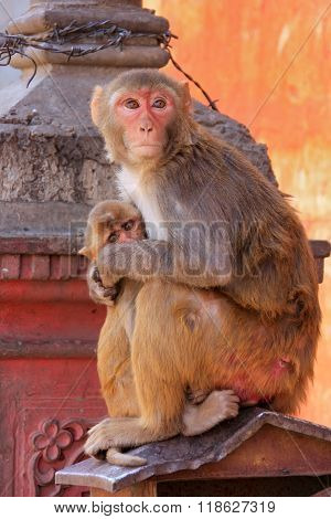 Rhesus Macaque With A Baby Sitting On A Roof In Jaipur, Rajasthan, India