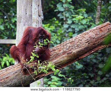 Senior Orangutang Eating Leafs In Borneo