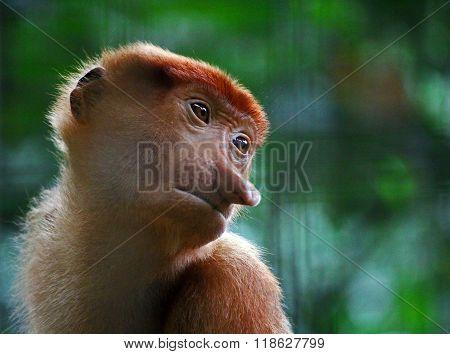Baby Proboscis Monkey Face