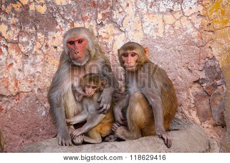 Family Of Rhesus Macaques Sitting In Jaipur, Rajasthan, India