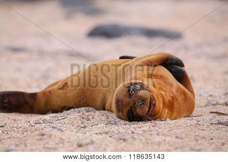 Young Galapagos Sea Lion Lying On The Beach On North Seymour Island, Galapagos National Park, Ecuado