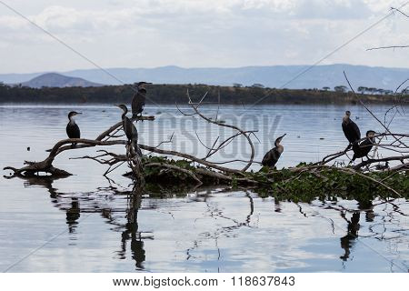 Six Great Cormorants Sitting On A Pile Of Tree Branches