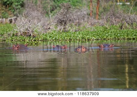 Group Of Four Hippos