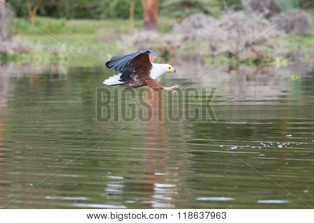 African Fish-eagle Hunting