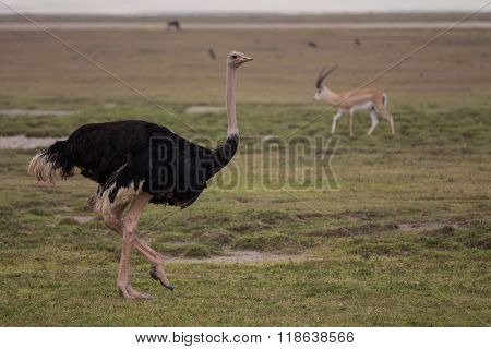 A Male Ostrich In The Ngorongoro Crater