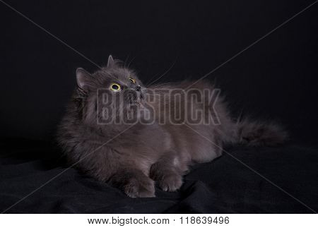 Crossbreed of siberian and persian cat lying on dark background