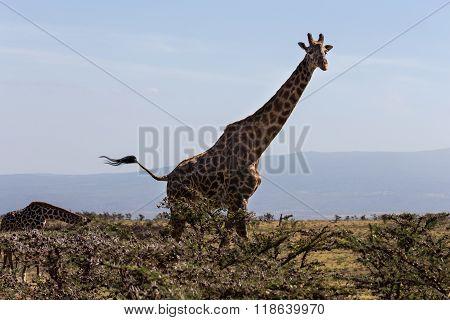 A Rothschild's Giraffe Mother And Its Calf