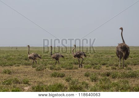 An Ostrich Mother And Its Childen Walking