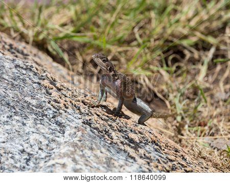 A Lizard Sitting On A Rock