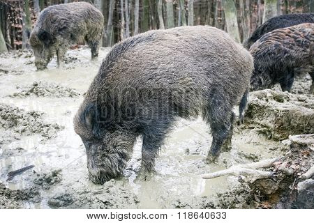 Wild Hogs In Mud