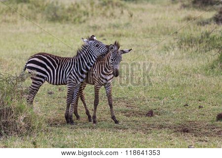 Two Young Zebras