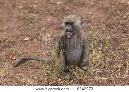 A Young Baboon Thinking