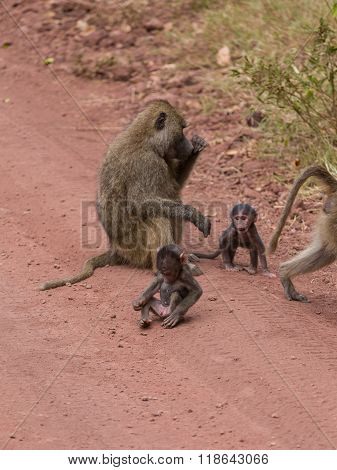 A Baby Baboon Exploring Its Body
