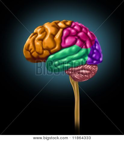 brain lobe sections divisions of mental neurological lobes multi color activity isolated poster
