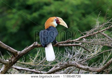 A Blyth's hornbill in a tree with a green background
