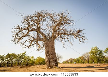 Massive Baobab tree in Botswana Africa with no leaves