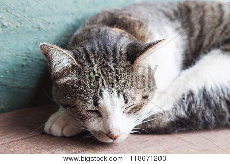 Thai Cat Sleeping In Garden Home