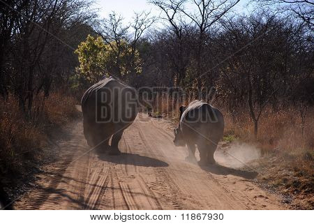 Two rhinos walking down a dusty road in africa. poster