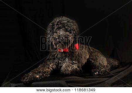 Cute Black Poodle Lying