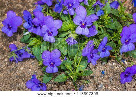 Viola Botanical Gardening Flower Nature.