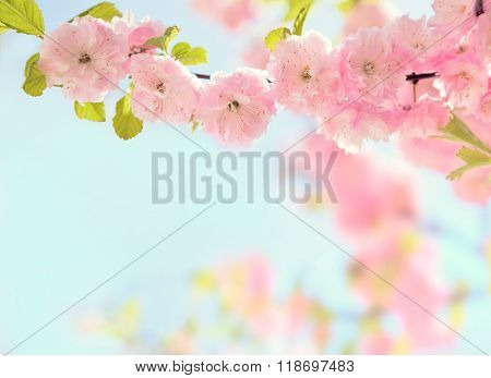 Branch with beautiful pink flowers ( Flowering almond ).   Very shallow depth of field. Toned image