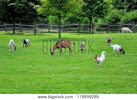 Different farm animals eating grass on a meadow.