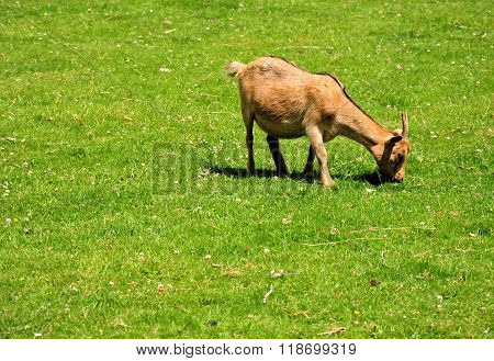 Baby goat eating grass in green meadow