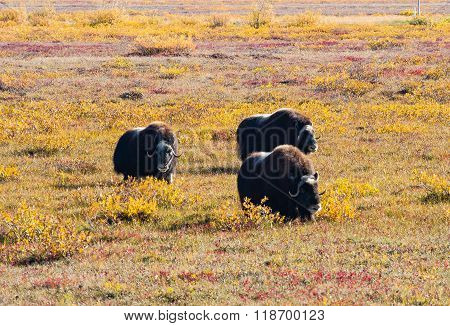 Musk Oxen And Fall Colros
