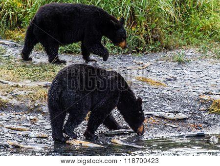 Caviar For Bears