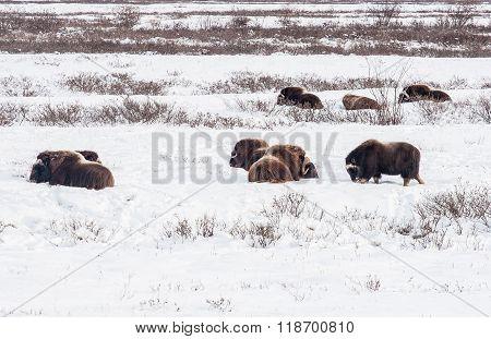 Musk Oxen In Alaska