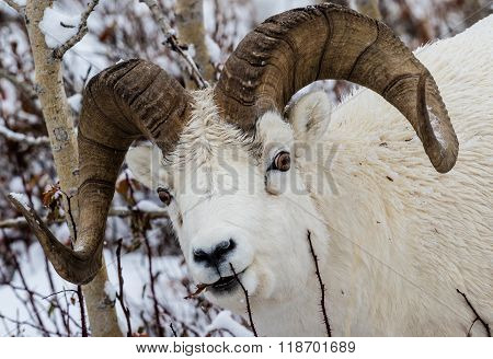 Full-curl Dall Sheep Ram In Denali National Park