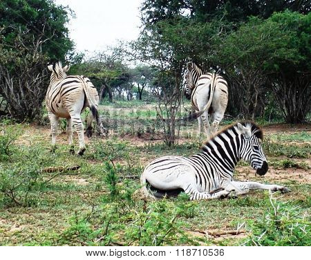 A group of three African zebras in the veld