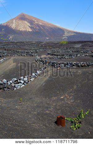 Grapes Wall Crops   Spain La Geria Vine Screw    Cultivation Barrel