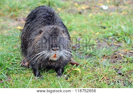 The invasive species of rodent called nutria emerges from a levee following a flood.