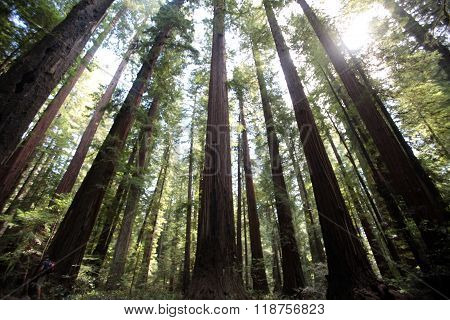Northern California Redwood Forest