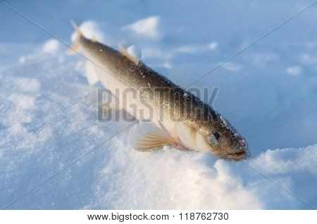 Smelt Fish Lying Belly-up In The Snow