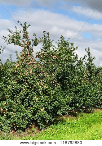Apple Orchard With Young Apple Trees.