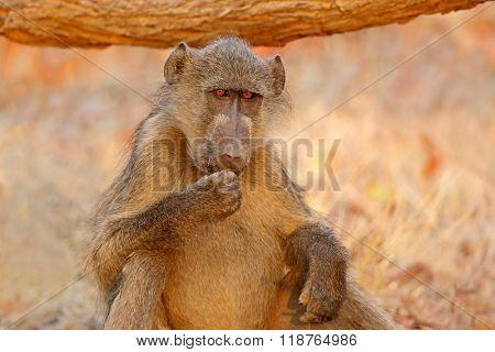 Chacma baboon  (Papio hamadryas ursinus) portrait, Kruger National Park, South Africa
