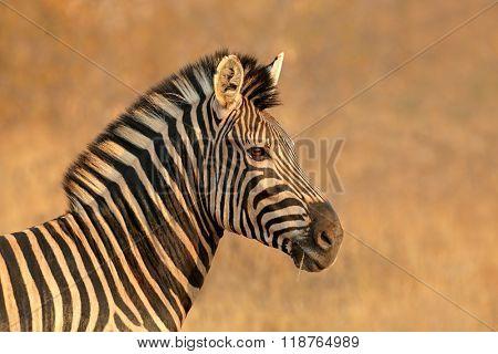 Portrait of a Plains (Burchells) Zebra (Equus burchelli), South Africa