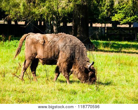 European wood bison in Bialowieza primeval forest