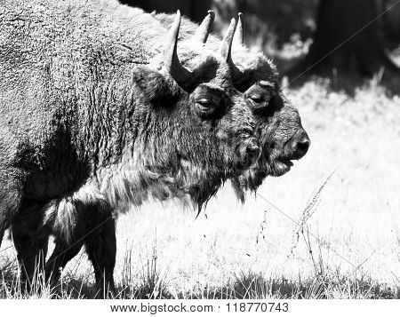 Two european wood bisons in Bialowieza forest