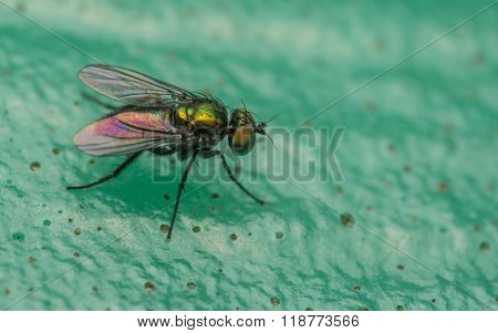 A Macro photo of a Dolichopodidae fly, insect