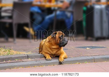 Calm Dog Lying On A Sidewalk