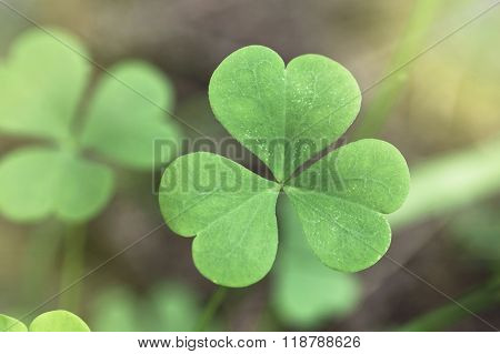 Shamrock close up