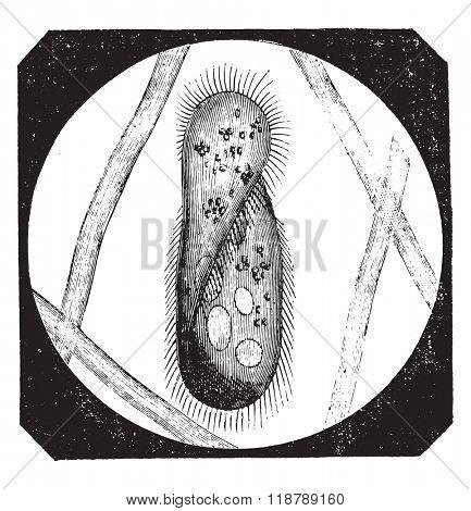 Paramecium aurelia, vintage engraved illustration. Magasin Pittoresque 1873.