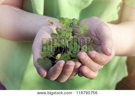 Shamrock in hands