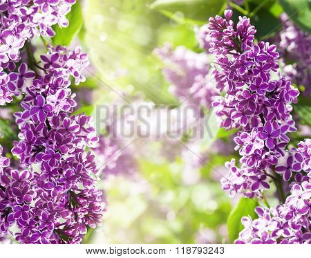 Fresh purple lilac flowers on nature blared background