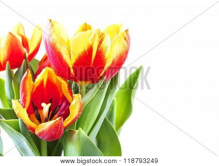 Beautiful Bouquet of tulips on white background