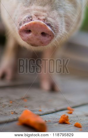 Detail Shot of A Pot Belly Pig's Snout While Eating Carrots